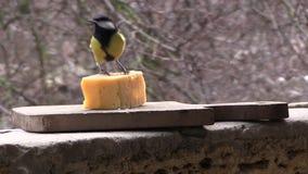 Il capezzolo sta mangiando il formaggio stock footage