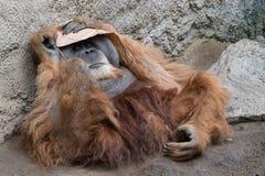 Il capo chiilling, orango Utan immagine stock libera da diritti