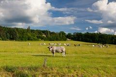 Il capo delle mucche del gregge su un pascolo di estate Immagini Stock