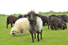 Il capo delle pecore del gregge che stanno fuori Fotografia Stock Libera da Diritti