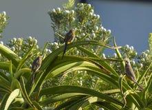 Il capo Sugar Bird con Mousebird macchiato si è appollaiato sulla pianta con i fiori bianchi Immagini Stock