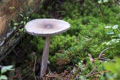 Il cappuccio di morte si è sviluppato fra gli aghi caduti delle conifere Fotografia Stock