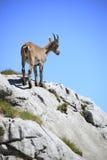 Il Capricorn sta levandosi in piedi sulla roccia Immagine Stock