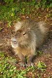 Il capybara si chiude su nella natura selvaggia Fotografia Stock