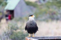 Il caracara crestato del sud si è appollaiato sulla piattaforma di legno, guardante al lato, Torres del Paine, Cile Fotografie Stock Libere da Diritti