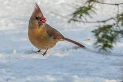 Il cardinale 9146 Fotografie Stock