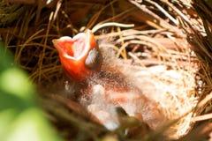 Il cardinale anziano di tre giorni del bambino in nido con la bocca spalanca immagine stock