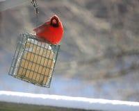 Il cardinale grasso è arrabbiato Fotografia Stock