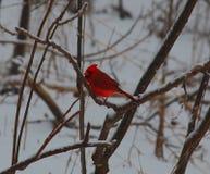 Il cardinale maschio, farebbe un buon puzzle fotografie stock