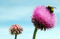 Il cardo selvatico con Bumble l'ape fotografie stock libere da diritti