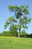 Il cardo selvatico di scrofa del prato fiorisce la barriera dell'albero di acero Fotografia Stock