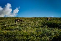 Il caribù che cerca l'alimento nel parco nazionale di Denali nell'Alaska si unisce Fotografia Stock