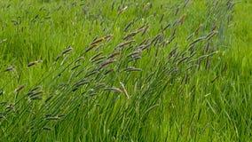 Il carice pianta l'ondeggiamento nel vento - cyperaceae fotografie stock libere da diritti