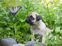 Il carlino del cucciolo in boschetti sta guardando sulla farfalla, conosciuta come i papilionidae Fotografia Stock Libera da Diritti