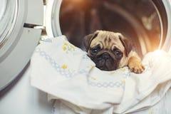 Il carlino del cucciolo si trova sulla biancheria da letto nella lavatrice Un bello piccolo cane beige è triste nel bagno Immagini Stock Libere da Diritti