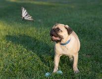 Il carlino del cucciolo su erba sta guardando sulla farfalla Fotografie Stock