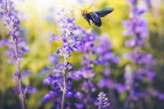 Il carpentiere Bee sta volando ai bei fiori in natura fotografia stock libera da diritti