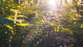Il carrello ha sparato nella foresta profonda pittoresca con le piante della felce ed i raggi del sole che attraversano stock footage