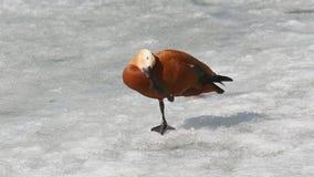 Il casarca (tadorna ferruginea) cammina sul ghiaccio e sull'acqua potabile video d archivio