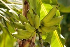 Il casco di banane si sviluppa su un albero in un'agricoltura tropicale il Gard Fotografia Stock Libera da Diritti