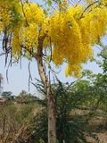 Il cassia fistula, bello giallo, può essere usato come immagine di sfondo immagini stock