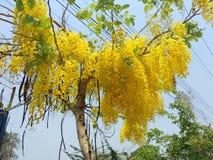 Il cassia fistula, bello giallo, può essere usato come immagine di sfondo fotografia stock libera da diritti