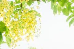 Il cassia fistula ingiallisce l'estate della margherita dei fiori con l'annata s del filtro fotografie stock