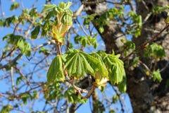 Il castagno copre di foglie profondità di campo bassa Fotografie Stock