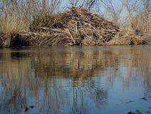 Il castoro alloggia sulle banche del fiume I rami hanno sistemato la casa Fotografia Stock