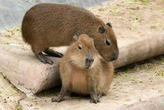 Il castoro europeo o castoro del Eurasian Immagini Stock Libere da Diritti