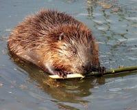 Il castoro ordinario, o la fibra latina della macchina per colata continua del castoro del fiume è un mammifero semi-acquatico de immagine stock
