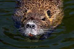 Il castoro ordinario, o la fibra latina della macchina per colata continua del castoro del fiume è un mammifero semi-acquatico de fotografia stock libera da diritti