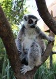Il catta delle lemure delle lemure catta Fotografia Stock Libera da Diritti