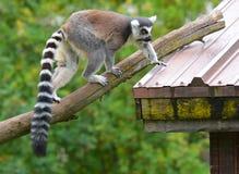 Il catta delle lemure delle lemure catta Fotografia Stock