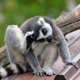 Il catta delle lemure delle lemure catta Immagini Stock