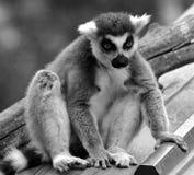 Il catta delle lemure delle lemure catta Fotografie Stock Libere da Diritti