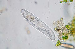 Il caudatum di paramecio è un genere di protozoo ciliato unicellulare Immagine Stock Libera da Diritti