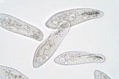 Il caudatum di paramecio è un genere di protozoo ciliato unicellulare fotografia stock