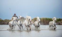 Il cavaliere sul cavallo bianco guida i cavalli attraverso l'acqua Fotografie Stock Libere da Diritti
