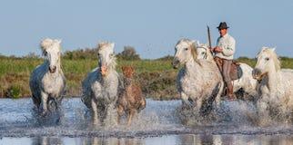 Il cavaliere sul cavallo di Camargue galoppa attraverso la palude Fotografie Stock Libere da Diritti
