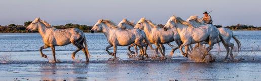 Il cavaliere sul cavallo di Camargue galoppa attraverso la palude Immagini Stock