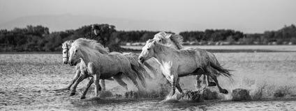 Il cavaliere sul cavallo di Camargue galoppa attraverso la palude Immagini Stock Libere da Diritti