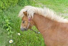 Il cavallino è sul prato inglese Fotografia Stock