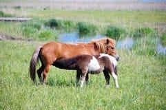 Il cavallino allatta Fotografia Stock