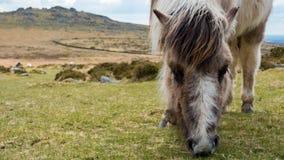 Il cavallino di Dartmoor che pasce l'erba sul attracca Immagini Stock