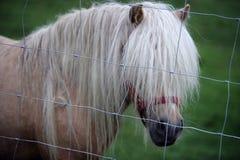 Il cavallino lungo della criniera con capelli nel suo fronte che copre il suo osserva Fotografia Stock