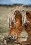 Il cavallino Sun-baciato di Moorland, Bodmin attracca, Cornovaglia immagine stock