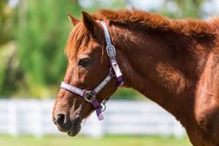 Il cavallo è nell'azienda agricola Fotografia Stock