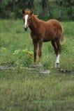 Il cavallo Fotografie Stock Libere da Diritti