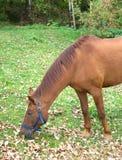 Il cavallo adulto del Brown mangia l'erba Immagine Stock